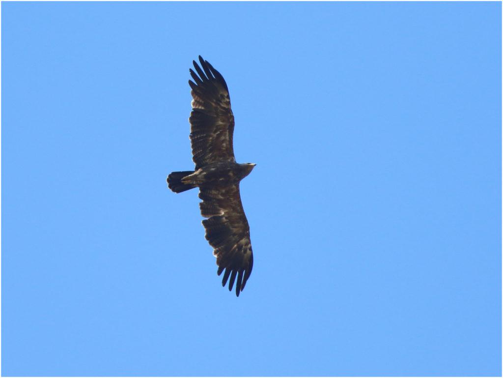 Mindre skrikörn (Lesser Spotted Eagle) vid Kullaröds våtmark, Björkesåkrasjön i Skåne