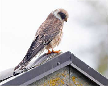 Aftonfalk (Red-footed Falcon) vid Österbua, Värö i Halland