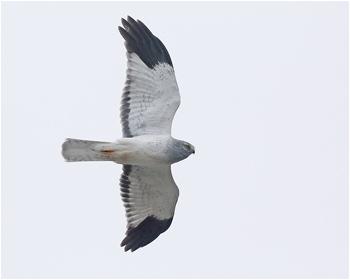 Blå kärrhök (Hen Harrier) vid Havshuvudet, Stora Amundön i Göteborg