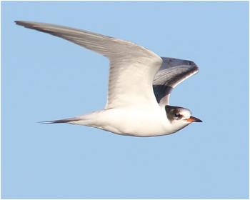 Fisktärna (Common Tern) vid Sebybadet, Öland