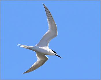 Kentsk tärna (Sandwich Tern) vid Sebybadet, Öland