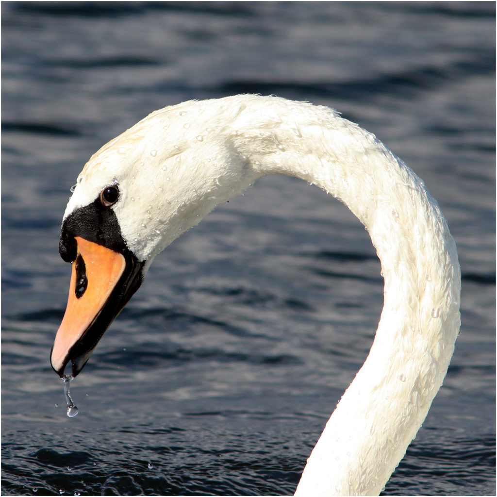 Knölsvan (Mute Swan) vid Västerstadsviken, Öland