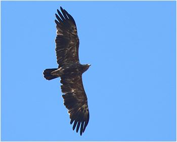 Mindre skrikörn (Lesser Spotted Eagle) vid Björkesåkrasjön i Skåne