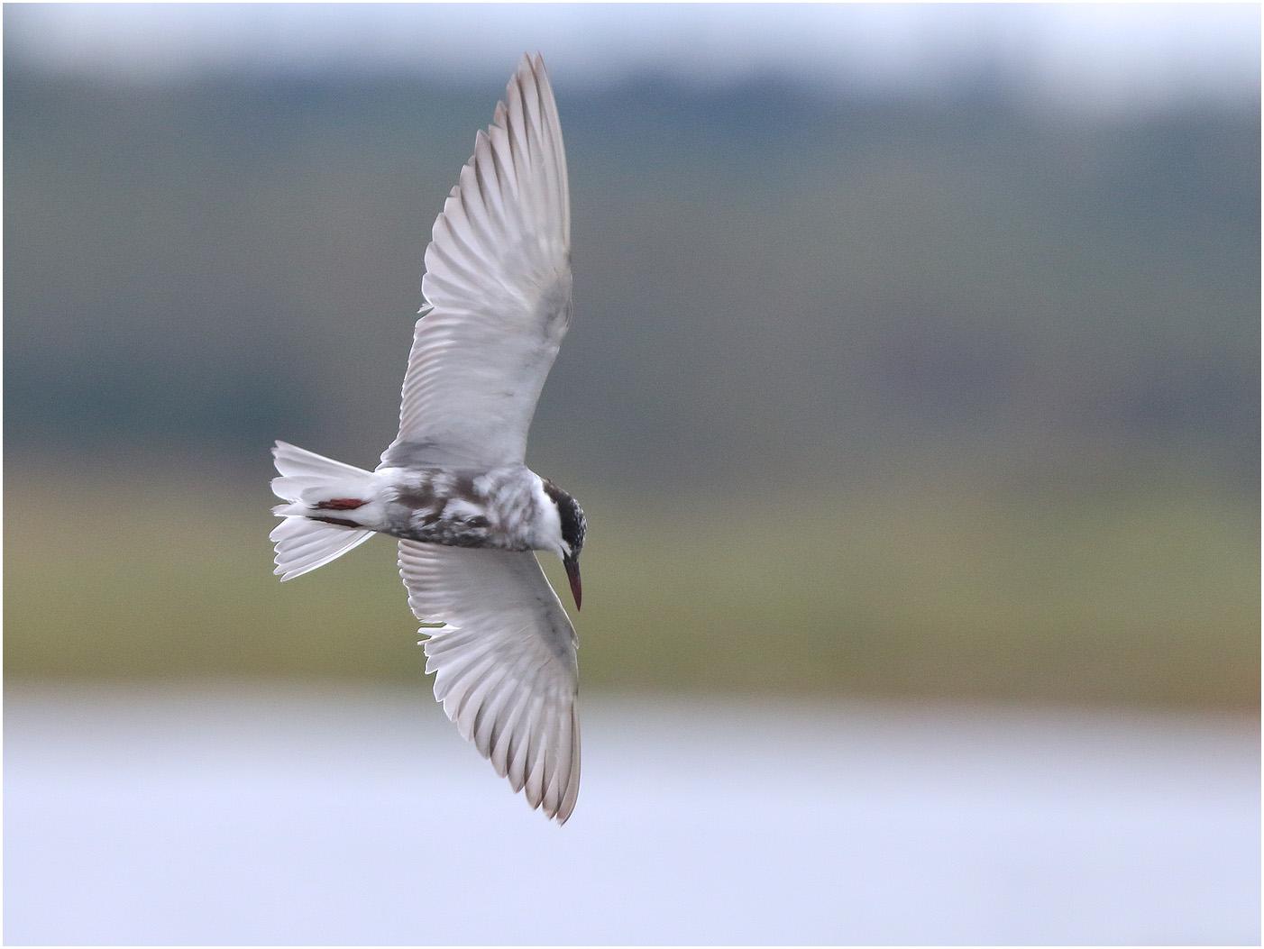 Skäggtärna (Whiskered Tern) vid Dravens naturreservat utanför Värnamo i Småland
