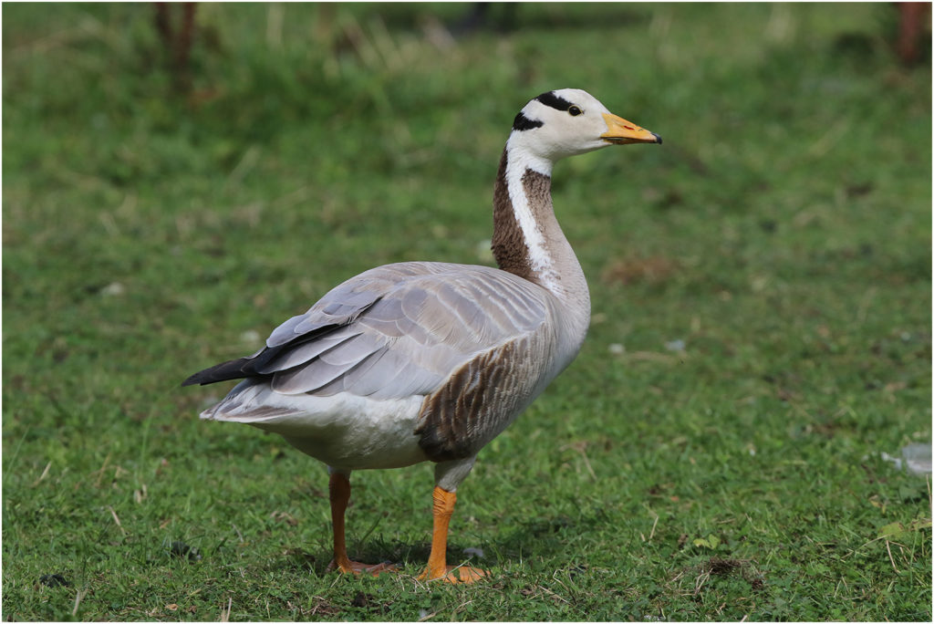 Stripgås (Bar-headed Goose) vid Billdal söder om Göteborg
