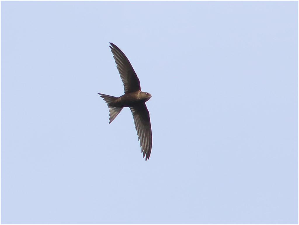 Tornseglare (Common Swift) vid Gävunda, Dalarna
