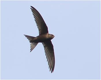 Tornseglare (Common Swift) vid Gävunda i Dalarna