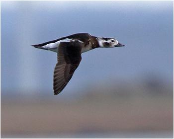 Alfågel (Long-tailed Duck) vid Korshamn, Morups Tånge i Halland
