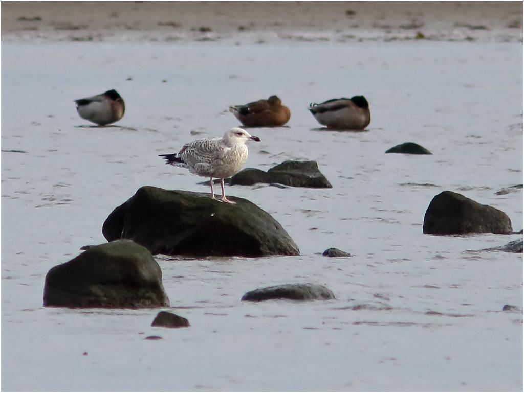 Kaspisk trut (Caspian Gull) vid Korshamn, Morups Tånge i Halland