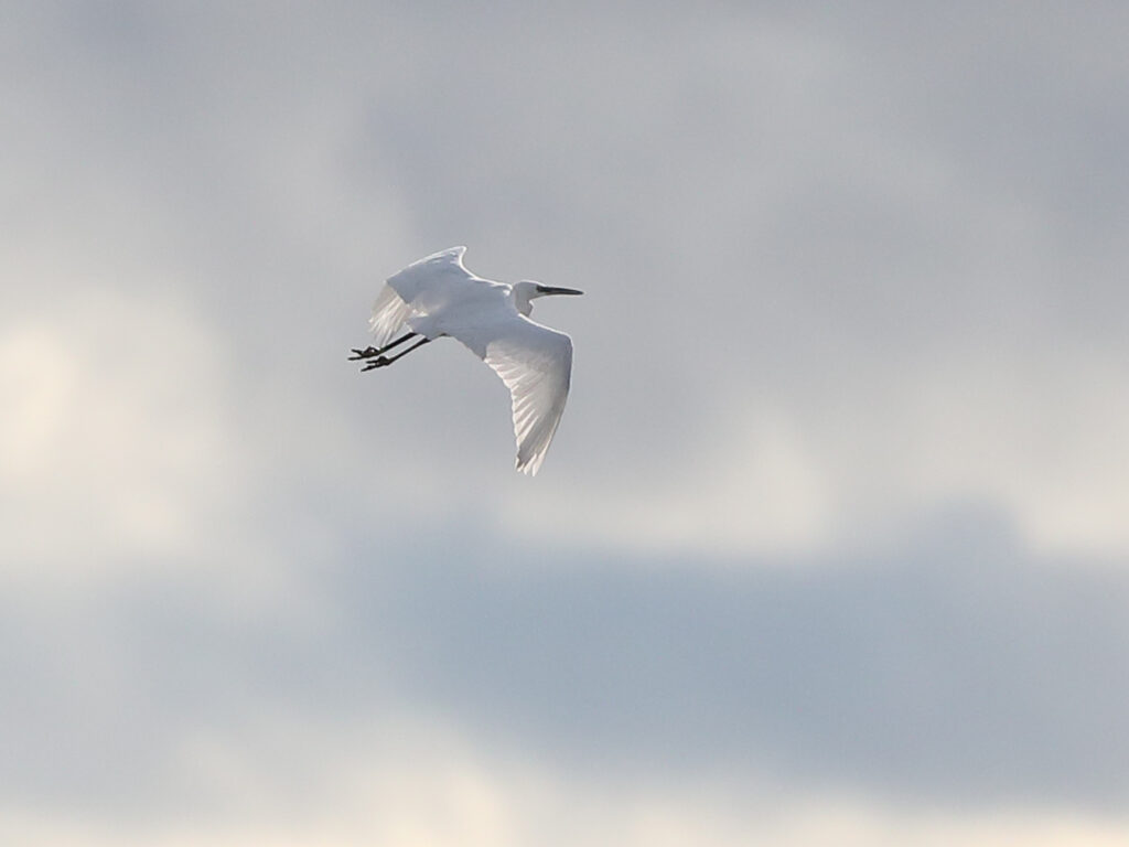 Silkeshäger (Little Egret Heron) vid Utteros, söder om Varberg.