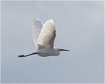 Silkeshäger (Little Egret) vid Utteros söder om Varberg