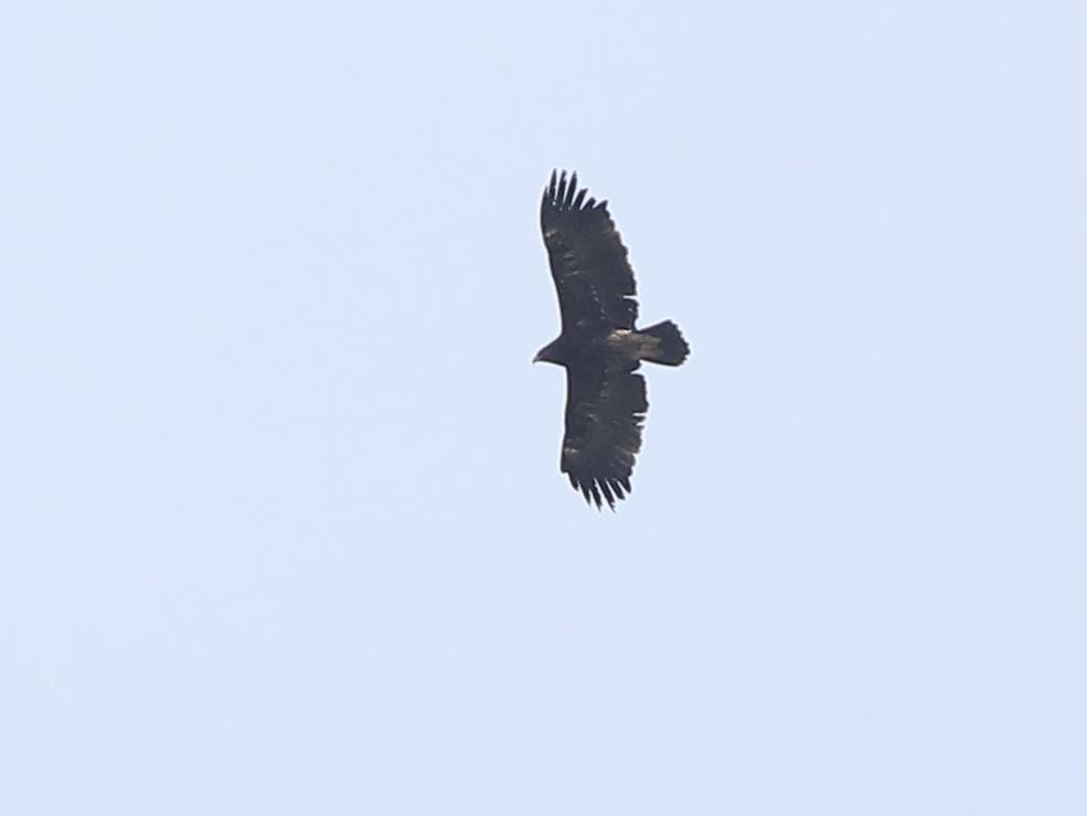 Större skrikörn (Greater Spotted Eagle) mellan Årstad och Falkenberg i Halland