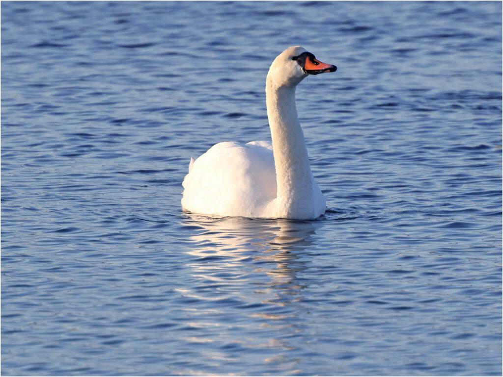 Knölsvan (Mute Swan) vid Stora Amundö, Göteborg