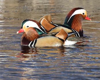 Mandarinand (Mandarine Duck) vid Rössjöholmsån, Ängelholm i Skåne