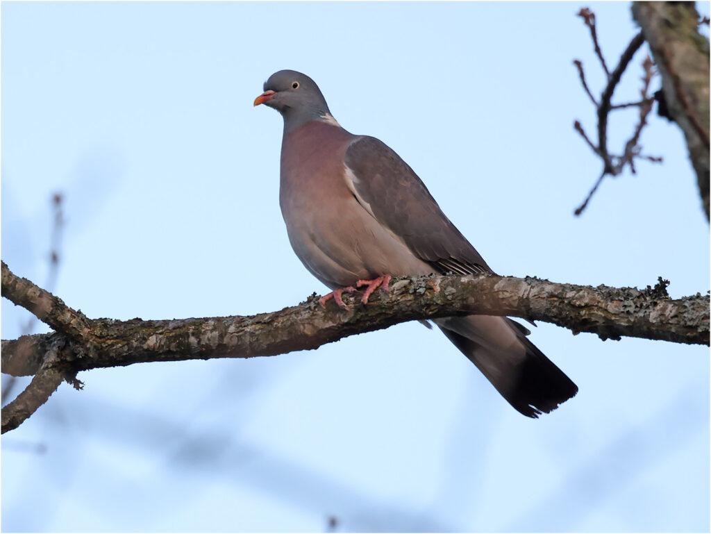 Ringduva (Wood Pigeon) vid Amundövik, söder om Göteborg