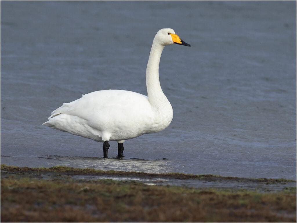 Sångsvan (Whopper Swan) vid Strandängen, Stora Amundö söder om Göteborg