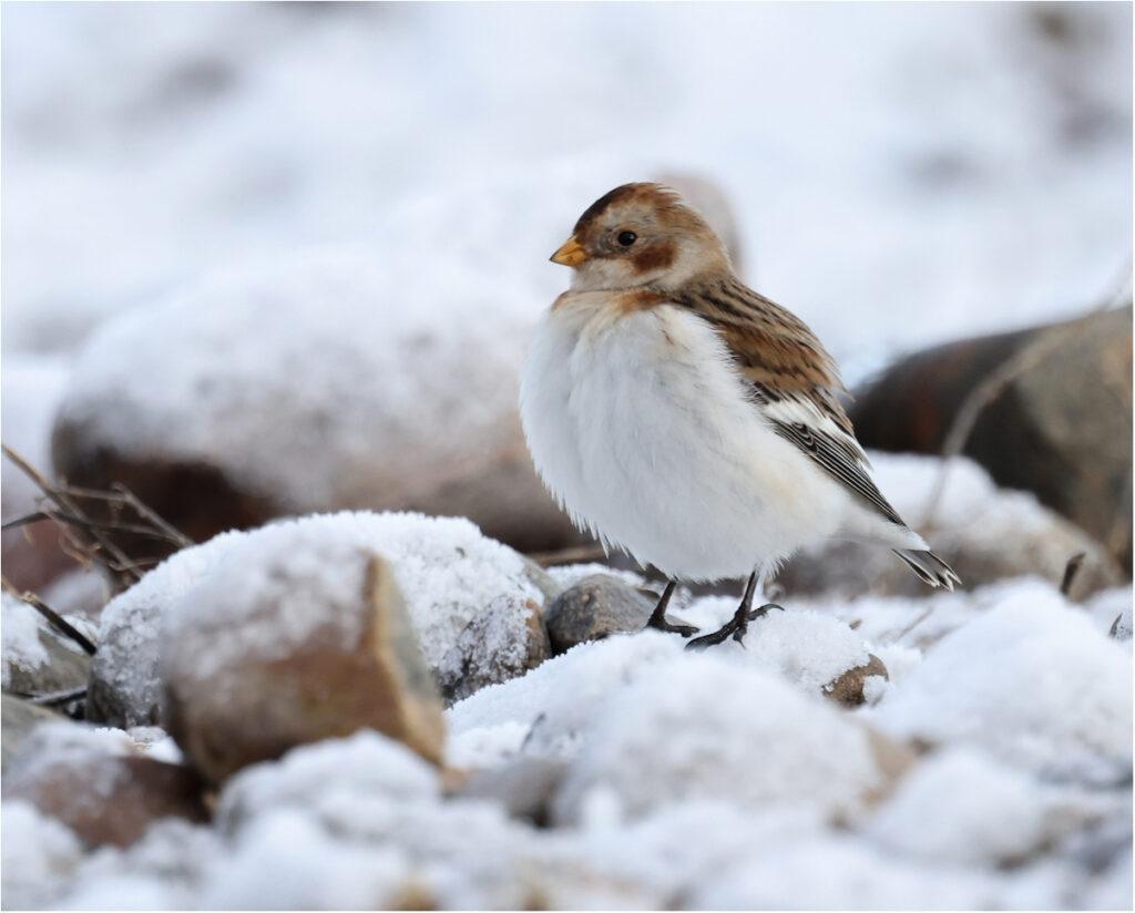 Snösparv (Snow Bunting) vid Korshamn, Morups Tånge i Halland