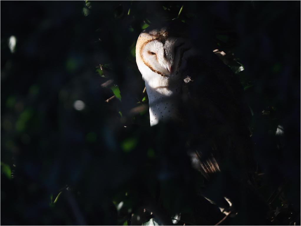 Tornuggla (Barn Owl) vid Skanörs kyrka, Skåne