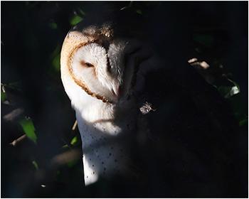 Tornuggla - Tyto alba - Barn Owl