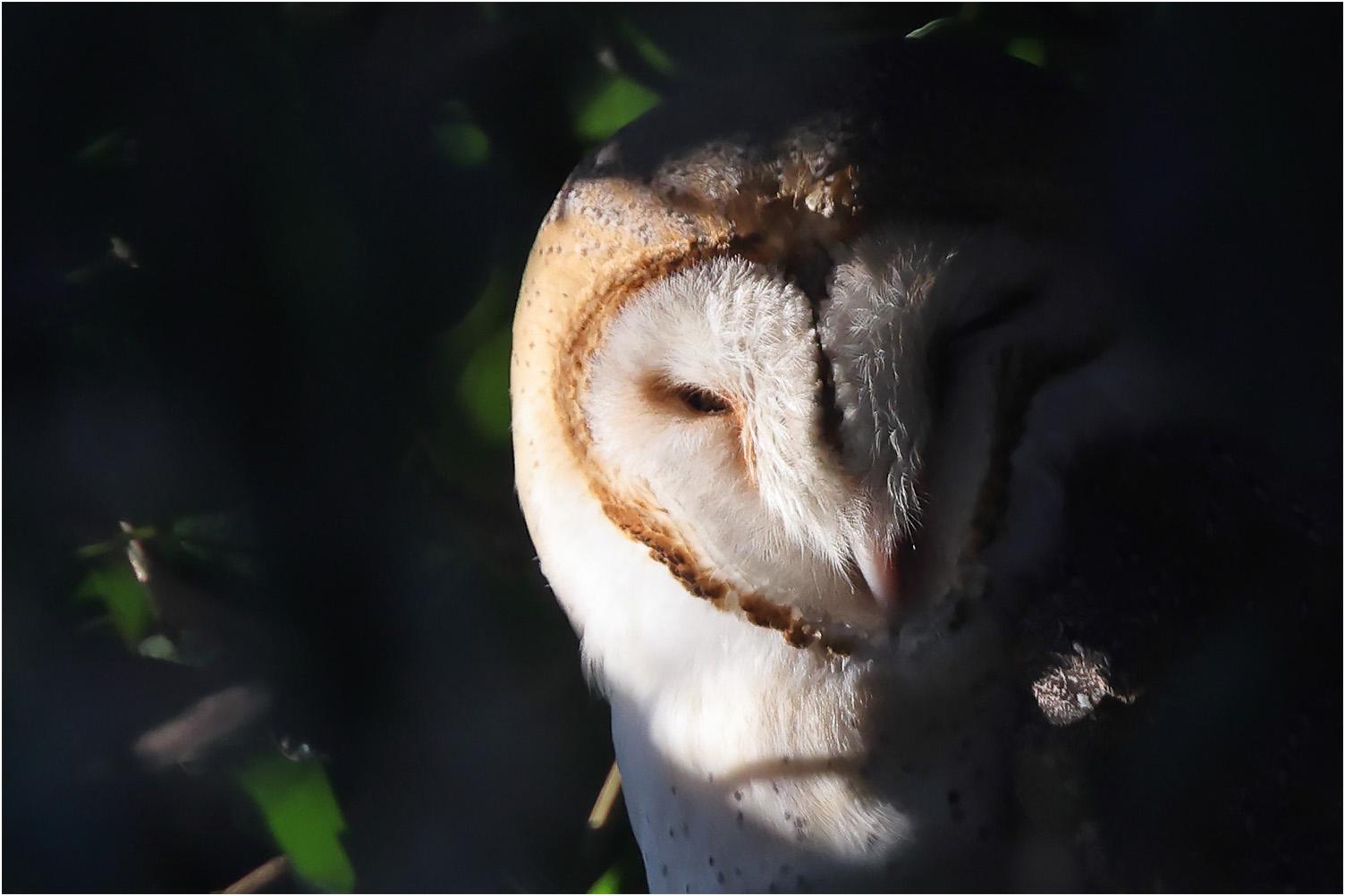 Tornuggla (Barn Owl) vid Skanörs kyrka i Skåne