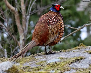 Fasan (Pheasant) vid Stora Amundö, Göteborg