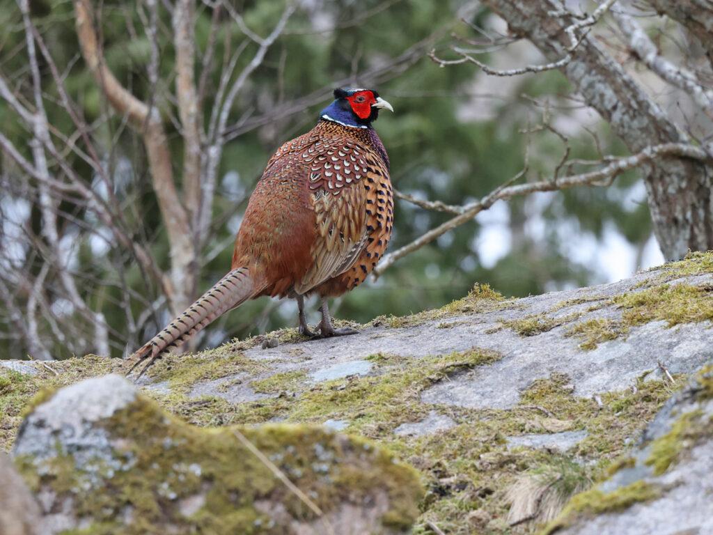 Fasan (Pheasant) vid Hästhagen, Stora Amundö utanför Göteborg