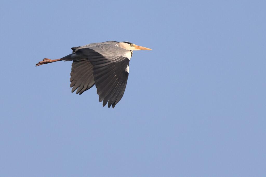 Grå häger (Grey Heron) vid Stora Amundö 18/04/2021