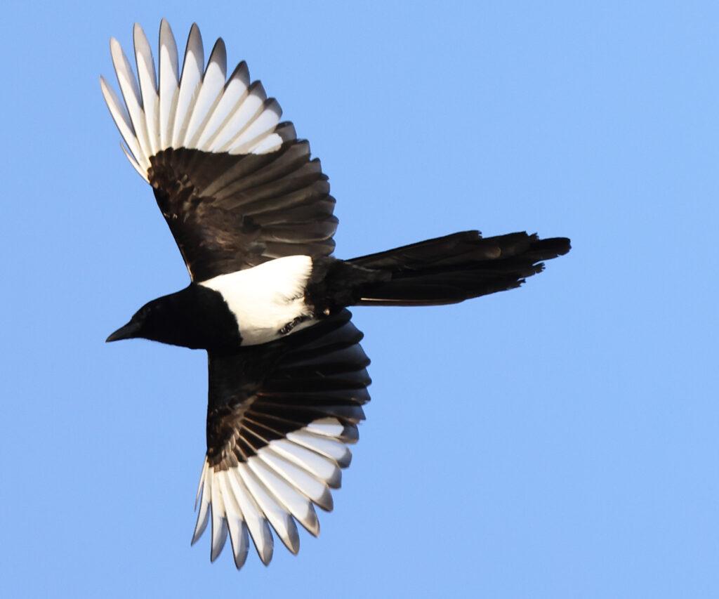 Skata (Magpie) vid Stora Amundö utanför Göteborg