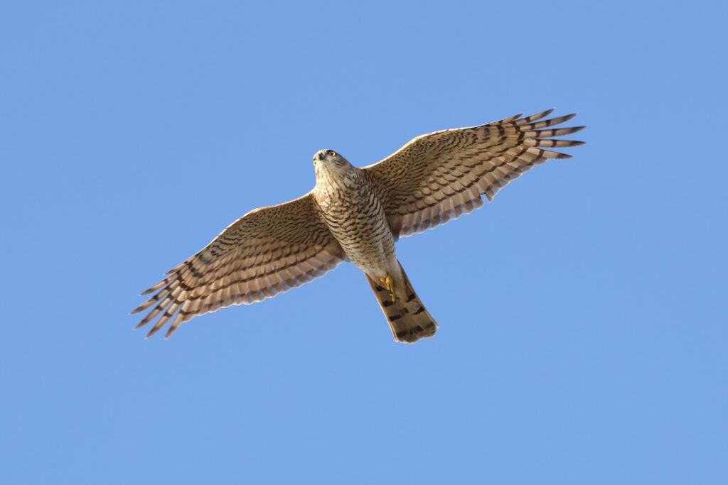 Sparvhök (Sparrowhawk) vid Hästhagen, Stora Amundö utanför Göteborg