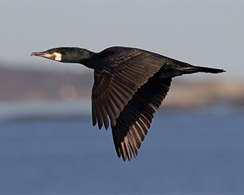 Storskarv (Great Cormorant) vid Havshuvudet, Stora Amundö
