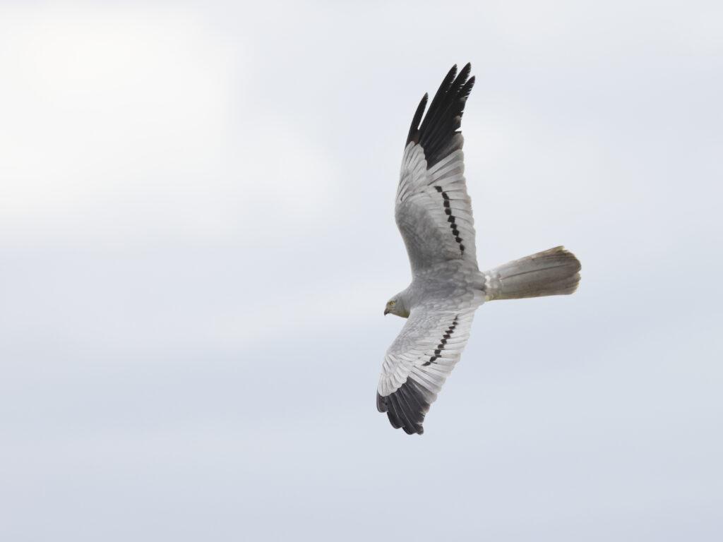 Ängshök (Montagu´s Harrier) på Öland