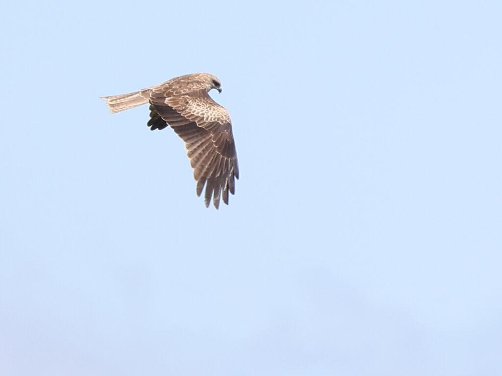 Brun glada (Black Kite) vid Sibyllas, Ottenby på Öland