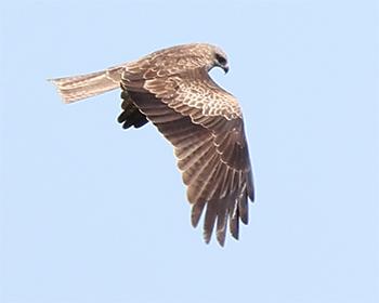 Brun glada (Black Kite) vid Sibyllas, Ottenby på södra Öland