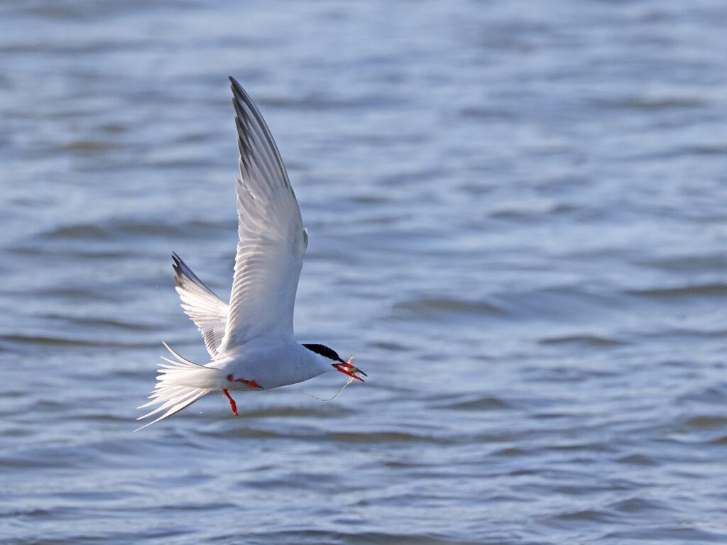 Fisktärna (Common Tern) vid Stora Amundö