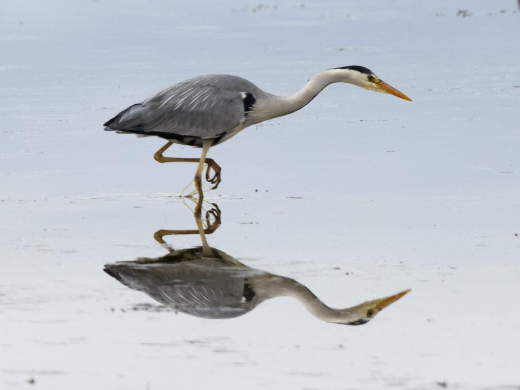 Gråhäger (Grey Heron) vid Ventlinge Strand på Öland