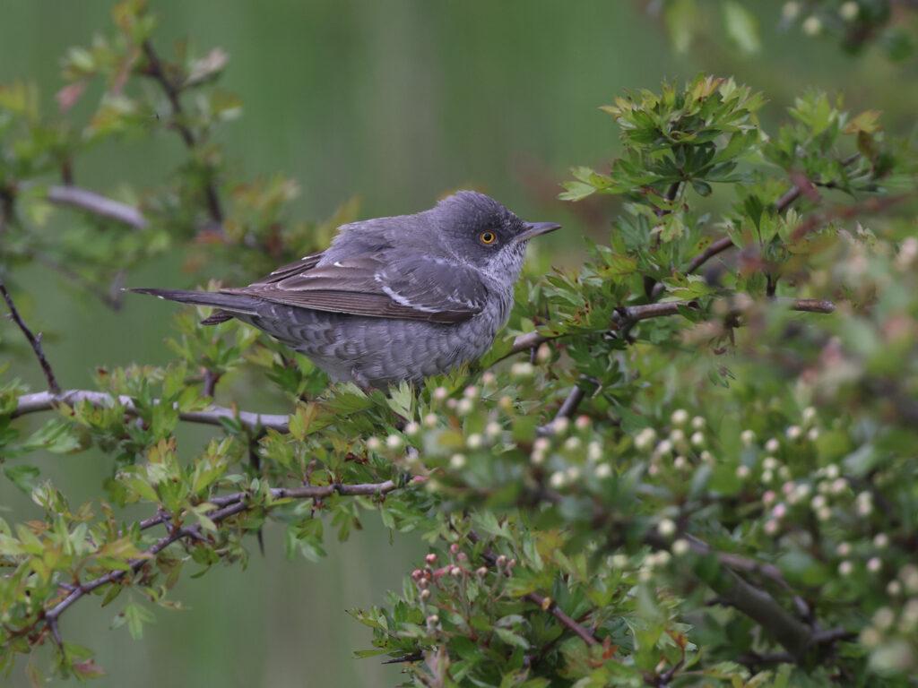 Höksångare (Barred Warbler) vid Eketorp, Öland