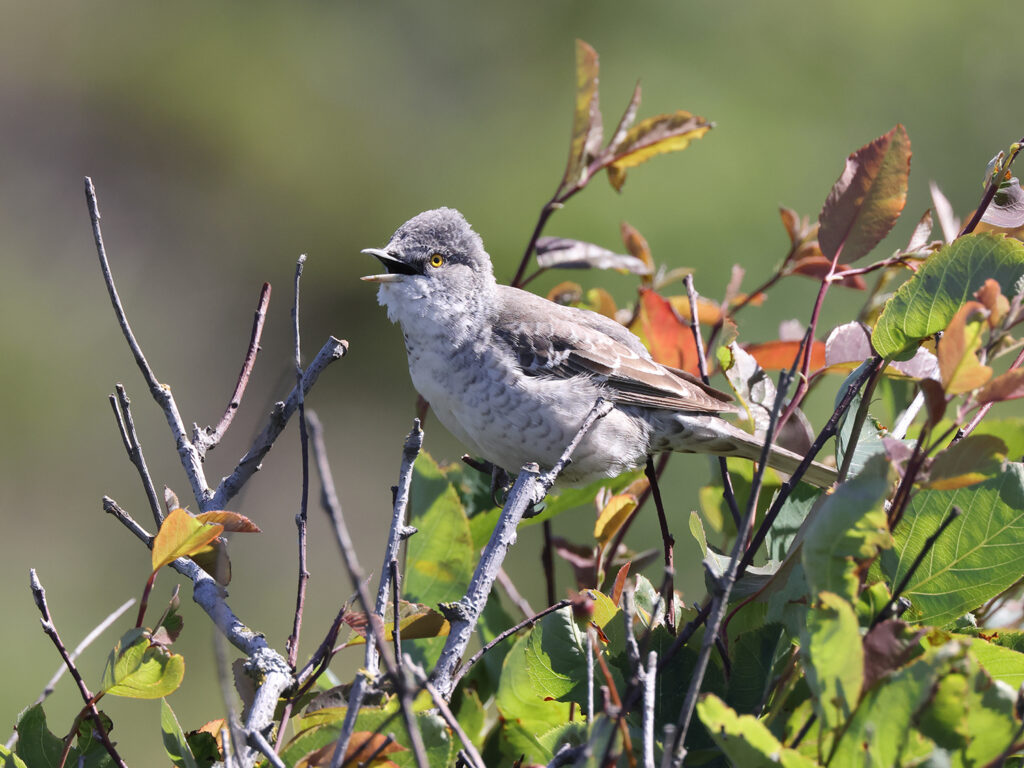 Höksångare (Barred Warbler) vid Grimsholmens naturreservat söder om Falkenberg