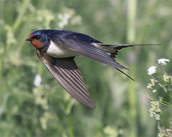 Ladusvala (Barn Swallow) vid Sebybadet, Öland