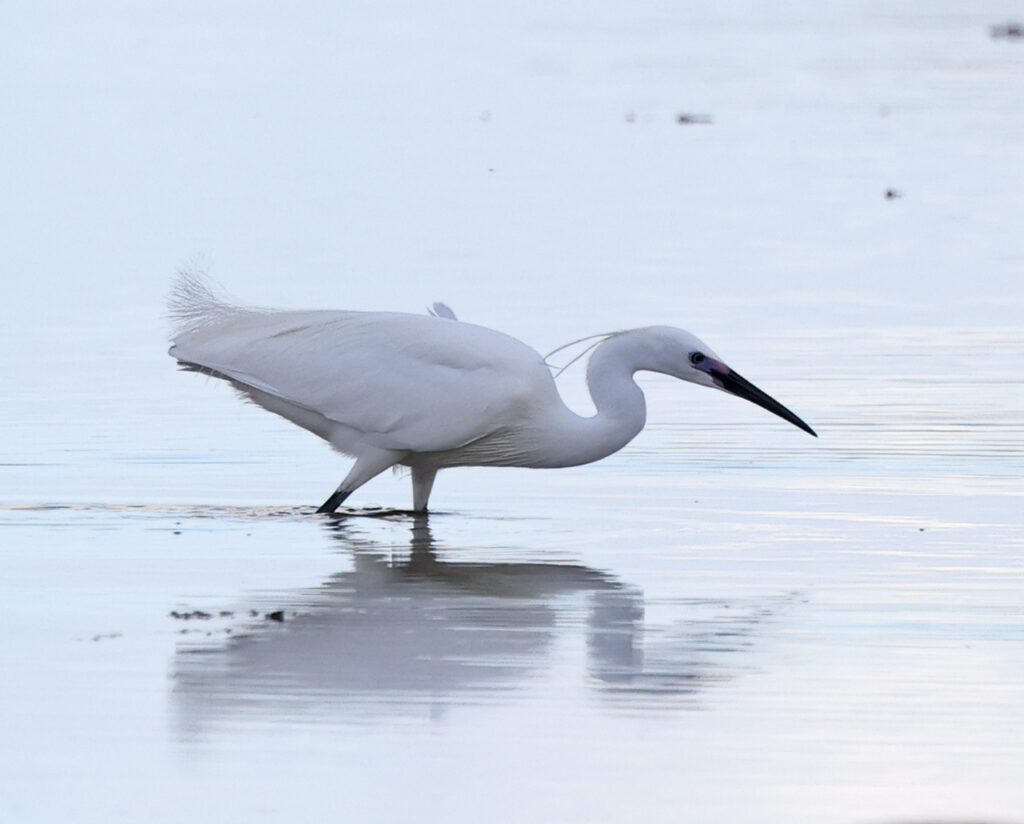 Silkeshäger (Little Egret Heron) vid Stora Amundön söder om Göteborg