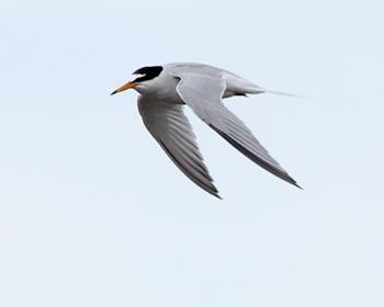 Småtärna (Little Tern) vid Ventlinge strand, Öland