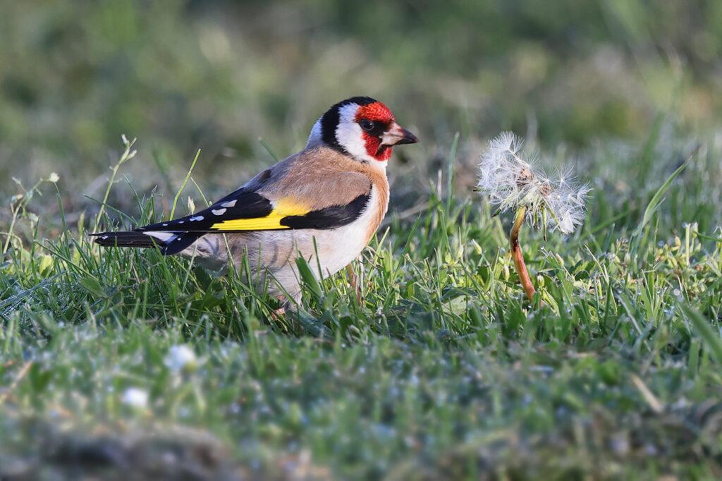 Steglits (European Goldfinch) vid Ölands Södra Udde