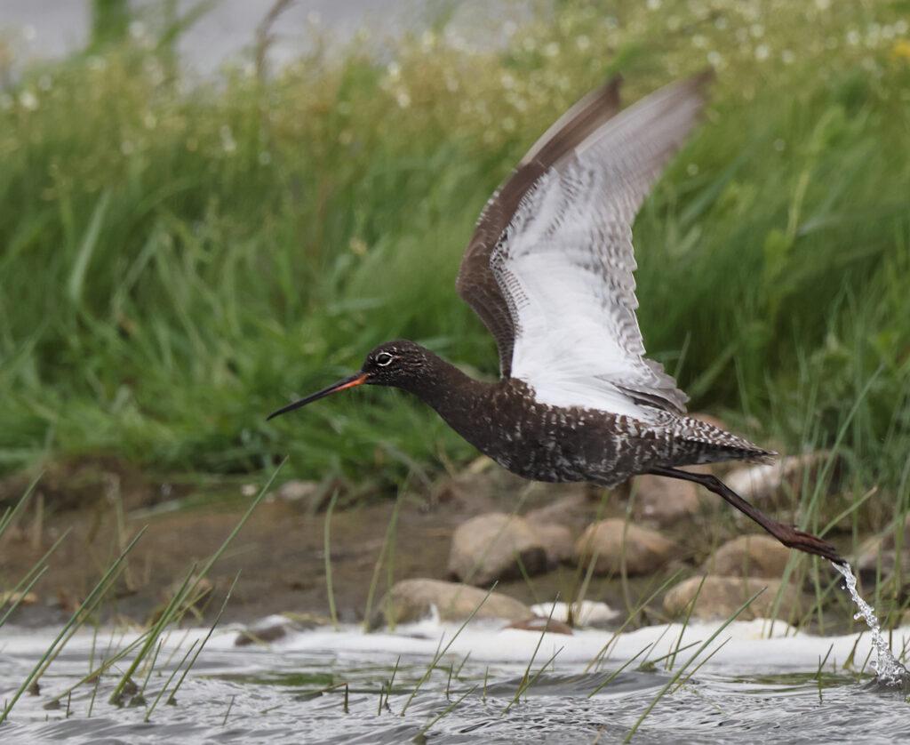 Svartsnäppa (Spotted Redshank) vid Munkagårdsfloen i Halland