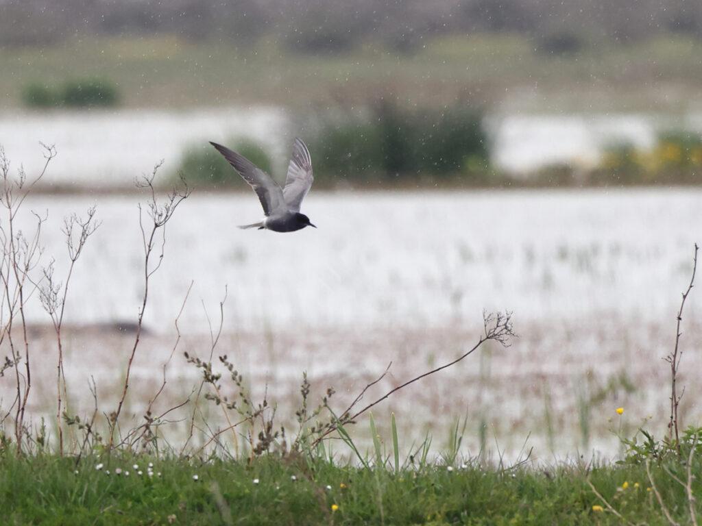 Svarttärna (Black Tern) vid Görans Dämme, Öland