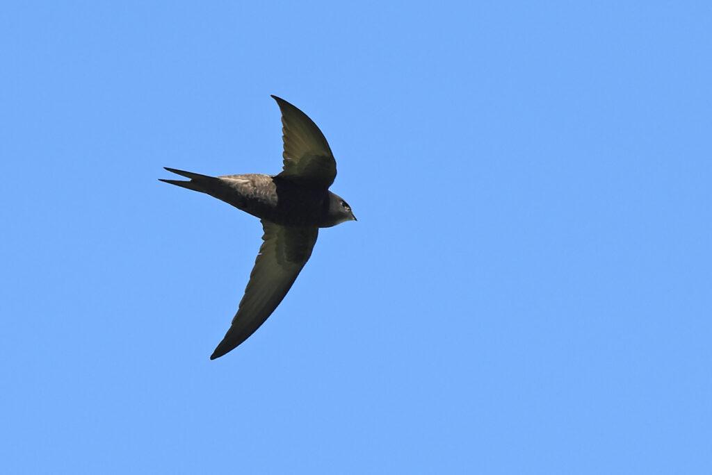 Tornseglare (Common Swift) vid Sibyllas, Ottenby på Öland