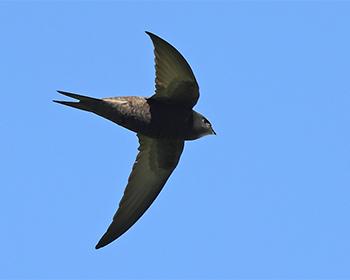 Tornseglare (Common Swift) vid Sibyllas, Ottenby på södra Öland