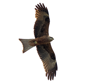 Brun glada (Black Kite) vid Högryd i Halland
