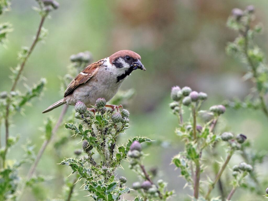 Pillfink (Tree Sparrow) vid Stora Amundö, Göteborg