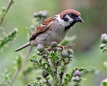 Pilfink (Tree Sparrow) vid Stora Amundö söder om Göteborg