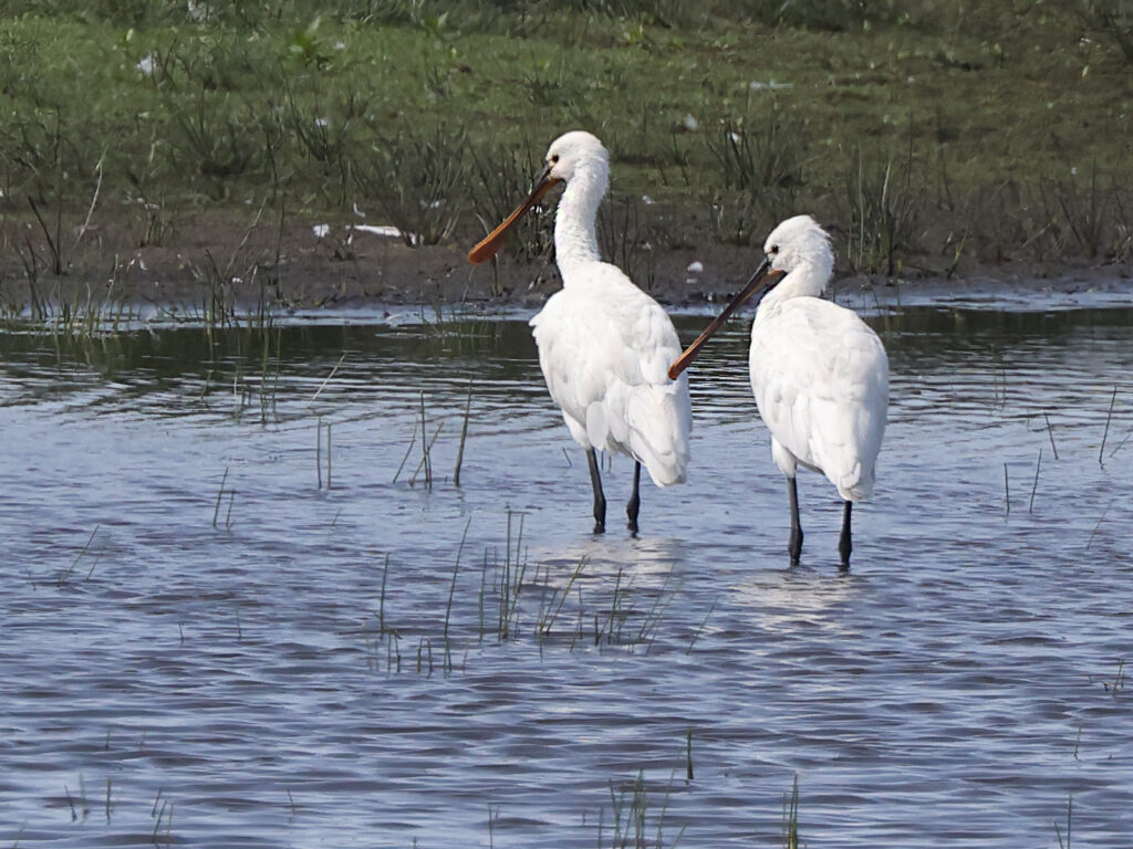 Skedstork (Spoonbill) vid Larssons våtmark utanför Halmstad