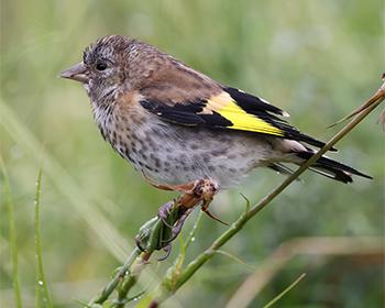 Steglits (Common Goldfinch) vid Torslandaviken utanför Göteborg